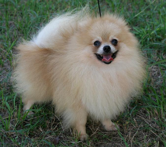 Above: A freshly fluffed Red Pomeranian.